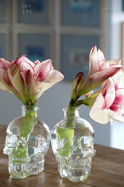 Red and white amaryllis flowers in scull shaped vases.