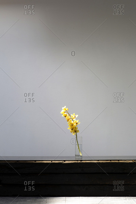 Yellow gladiola flowers against bare wall