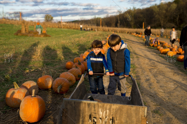 Boys pushing a cart with pumpkins on a farm