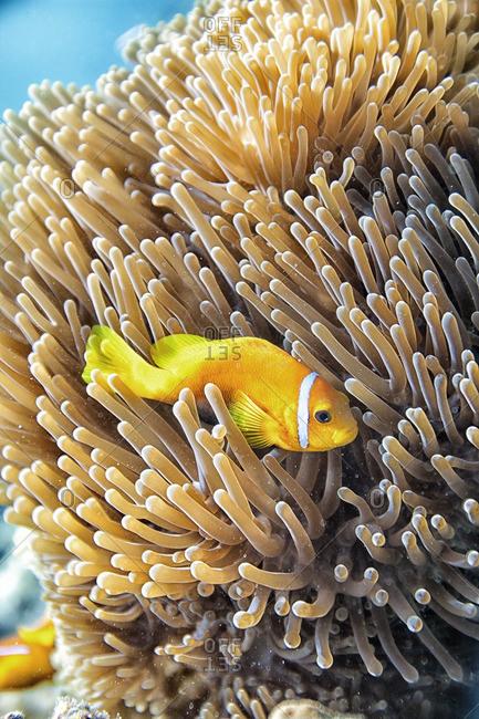 Maldive anemonefish