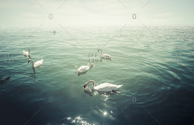 Group of mute swans on lake at backlight