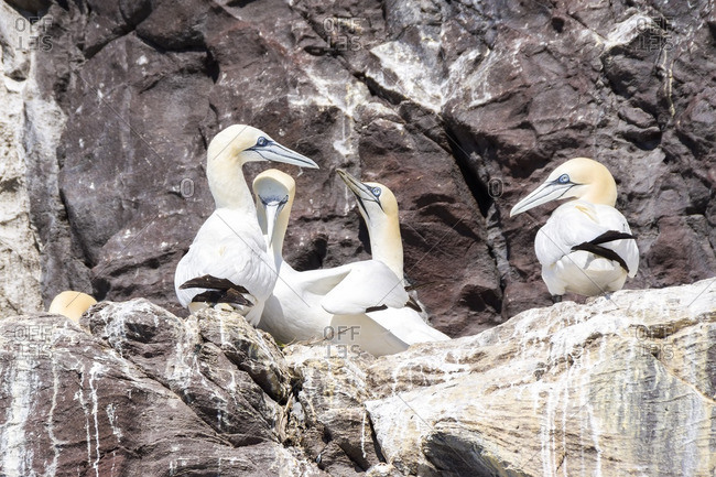 Northern Gannets on Bass Rock