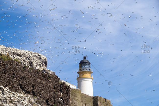Lighthouse on Bass Rock and a colony of Northern Gannets