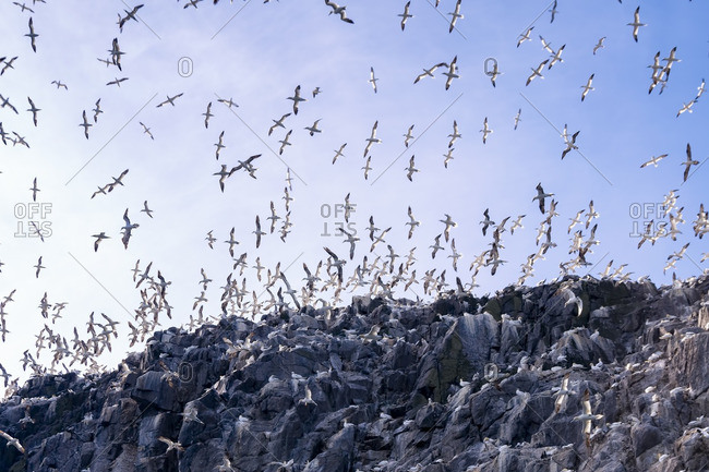 Bass Rock with a colony of Northern Gannets