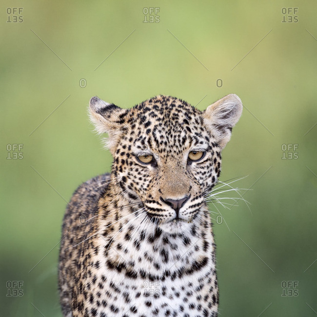 Portrait of a leopard in Africa