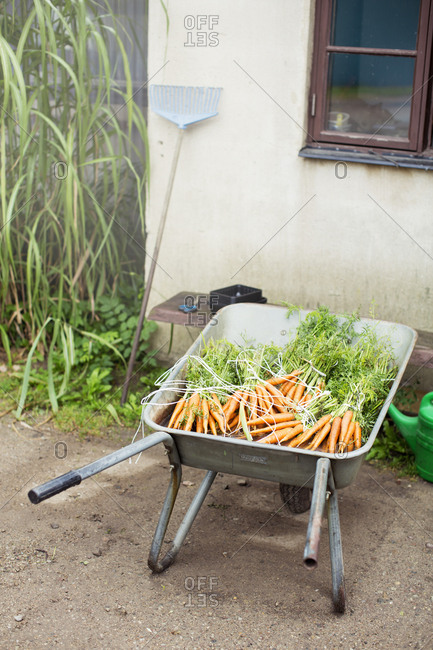 High angle view of fresh organic carrots bunches in wheelbarrow
