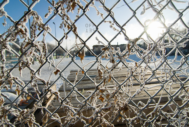 Frost clinging to chain link fence and leaves in winter