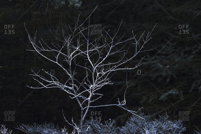 Frozen bare tree against dark forest.