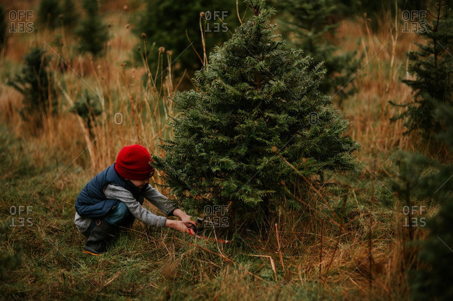 Boy cutting down a small evergreen on a tree farm