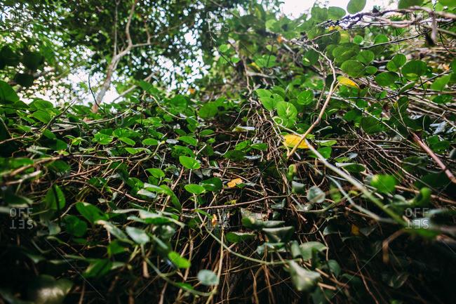 Viney plants in a tropical rainforest