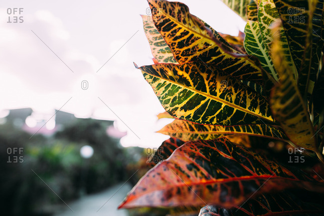 Colorful leaves of a tropical croton plant