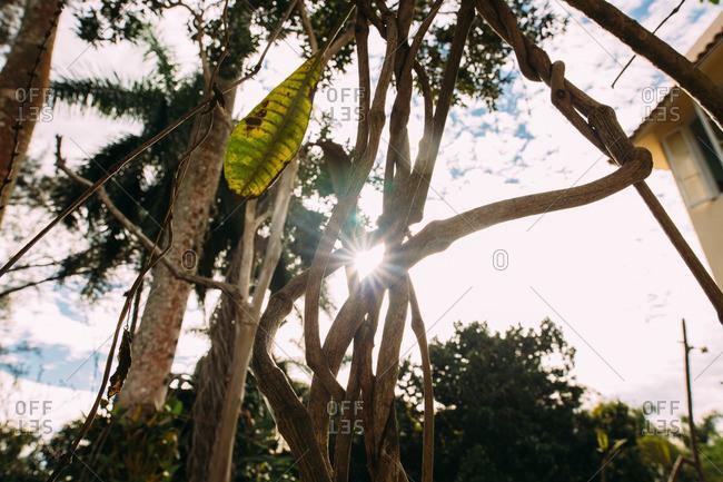 Sunlight shining through interwoven tropical tree trunks