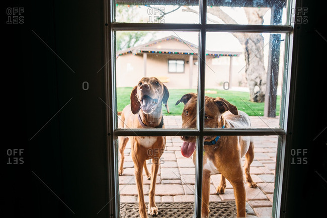 Panting dogs fogging up glass on door to house
