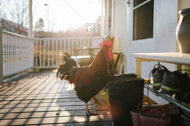 Rooster walking on back porch of house