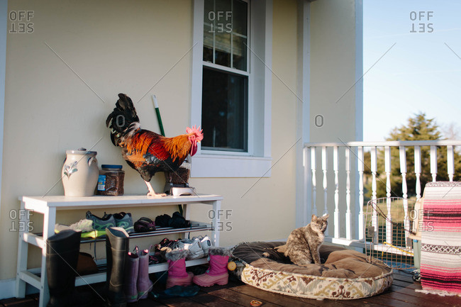 Rooster and cat on back porch of house