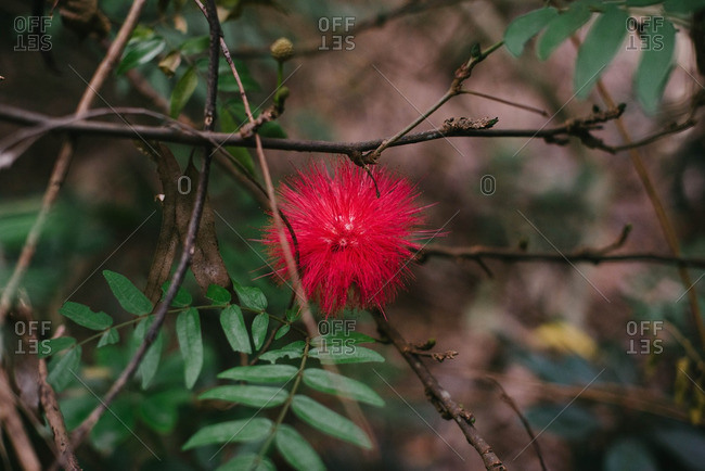 Red round spiky flower, China