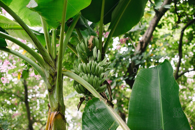 A banana tree with bunches