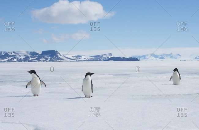 A group of Adelie penguins, Pygoscelis adeliae, walk along the sea ice off the Antarctic Peninsula