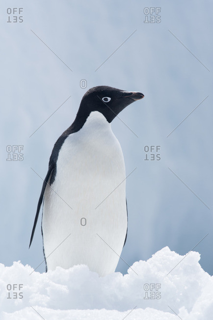 An Adelie penguin, Pygoscelis adeliae, standing on sea ice in Antarctic Sound