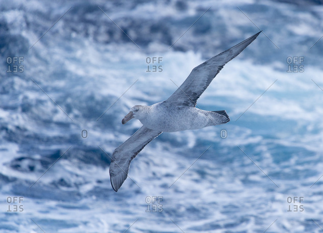 A Southern giant petrel, Macronectes giganteus, flies over the ocean in the Drake Passage