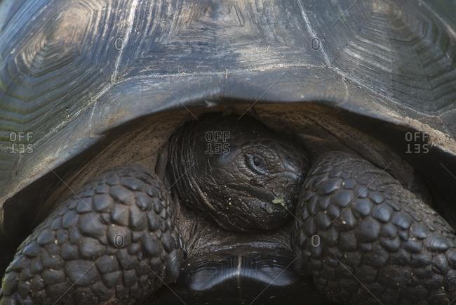 An endemic Galapagos Giant tortoise, Geochelone nigra, on Isabela island, Ecuador