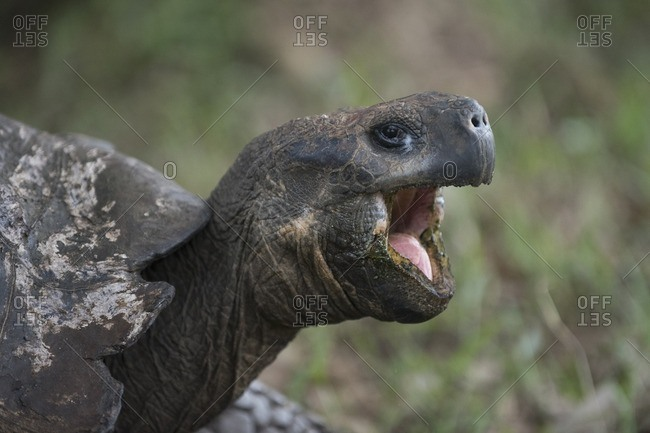 A Galapagos Giant tortoise opens its mouth wide