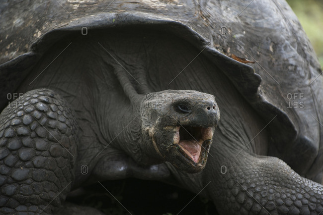 A Galapagos Giant tortoise, Geochelone nigra, opens its mouth wide