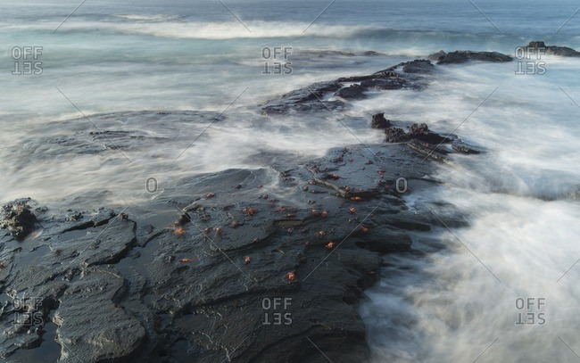 Sally lightfoot, Grapsus grapsus, crabs cling to the volcanic coastline of Santiago island