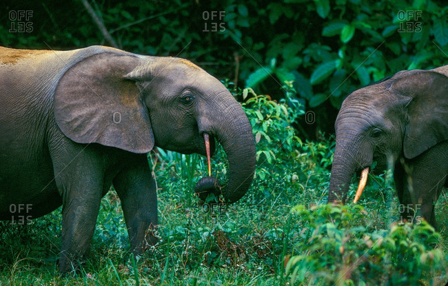 African Forest Elephant, Loxodonta Africana Cyclotis, Eating Plants In Forest