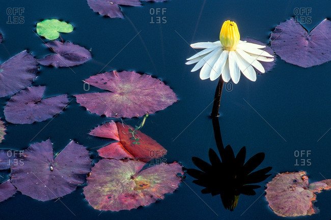 Reflection Of Single White Water Lily, Nymphaeaceae, on Water