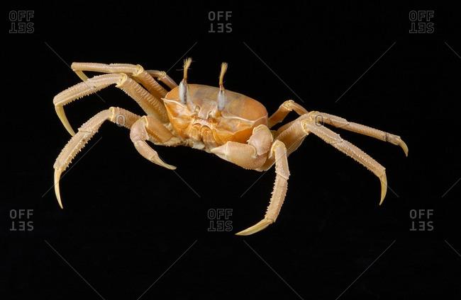 A Ghost Crab, Ocypode Albican