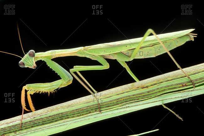 Portrait of a Praying Mantis, Mantidae, on a Twig