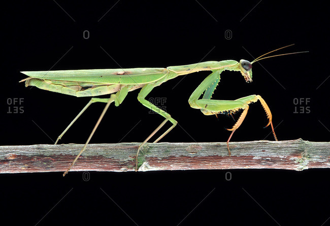 Portrait of a Praying Mantis, Mantidae, on a Branch