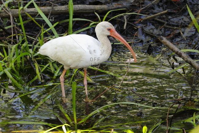 A White ibis, Eudocimus albus, foraging for crustaceans