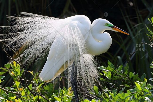 A Great egret, Ardea alba, in breeding display