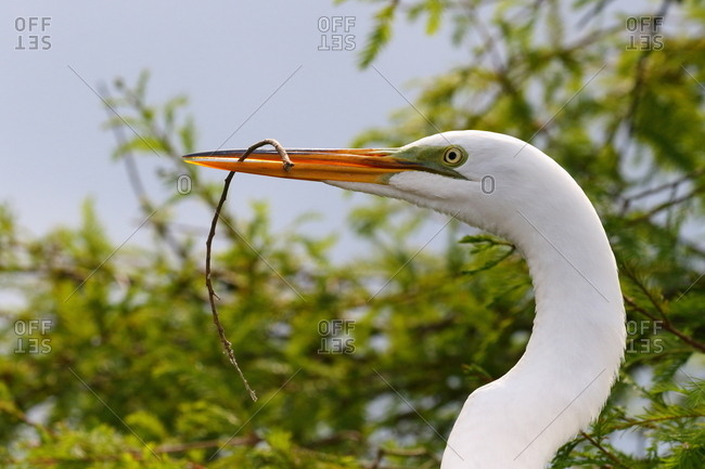 A Great egret, Ardea alba, with twig in its beak