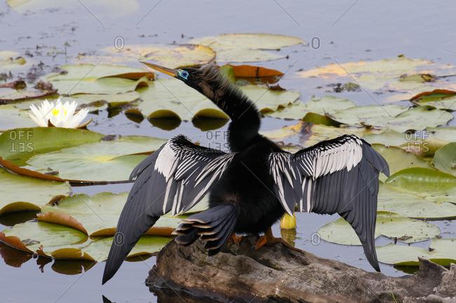An Anhinga, Anhinga anhinga, with spread wings