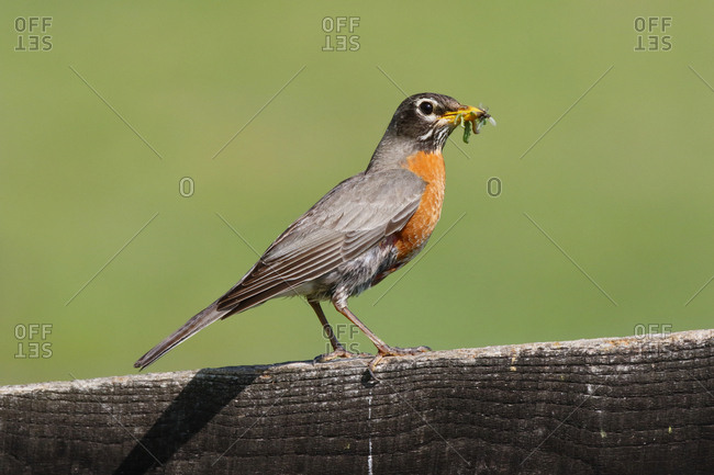 A nesting American robin, Turdus migratorius, with insects in its beak
