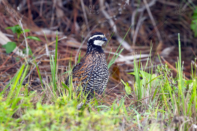 A northern bobwhite quail, Colinus virginianus, in the grass