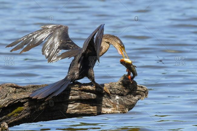 An Anhinga, Anhinga anhinga, carrying a freshly caught fish in its beak