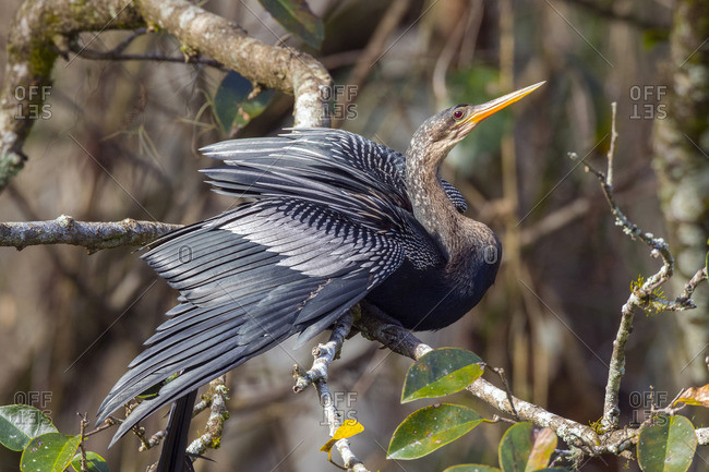 An Anhinga, Anhinga anhinga, perching on a tree branch