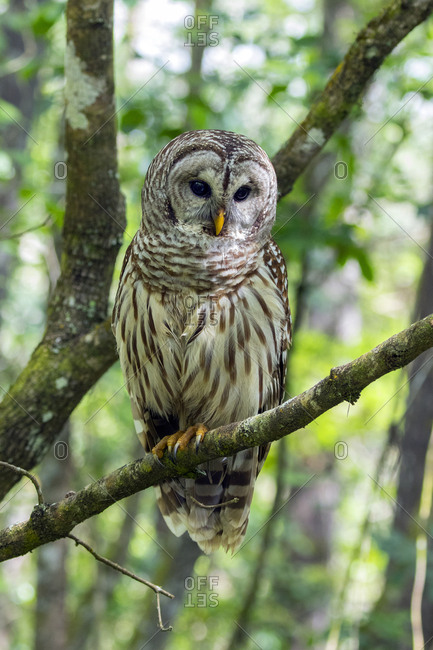 A Barred owl, Strix varia, perched on a tree branch in Corkscrew Swamp Sanctuary