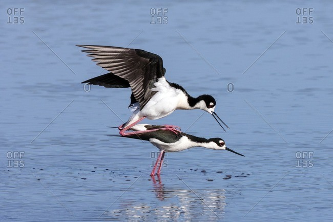A pair of Black necked stilts, Himantopus mexicanus, mating