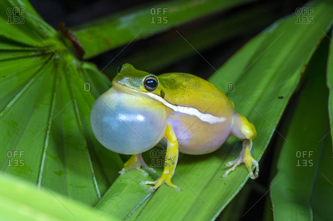 A Male American green tree frog, Hyla cinerea, calling to attract mate