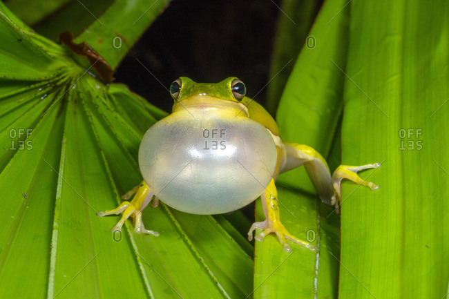 An American green tree frog, Hyla cinerea, calling out in the night to attract a mate