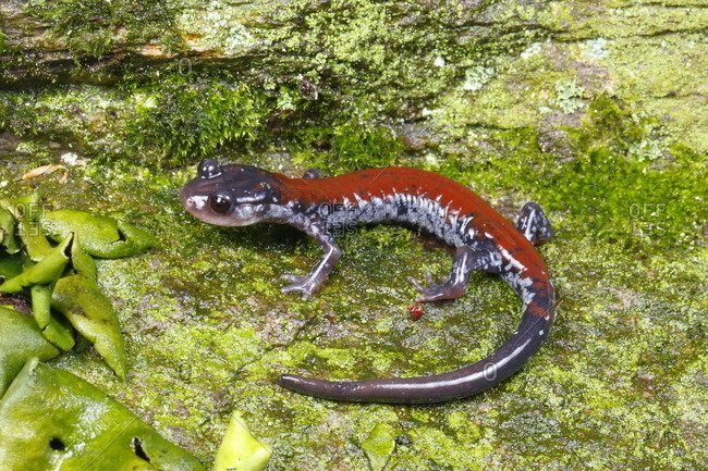 A Yonahlossee salamander, Plethodon yonahlossee, foraging for prey on moss
