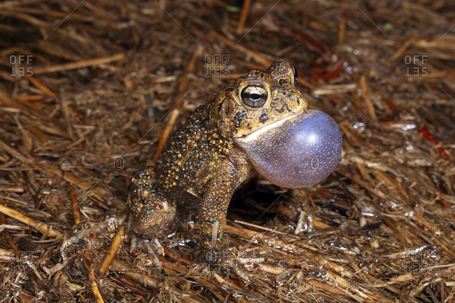 A Southern toad, Anaxyrus terrestris, calling for a mate in a rain pool