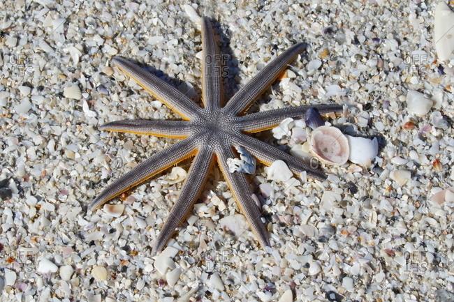 A Nine armed sea star, Luidia senegalensis, on sand