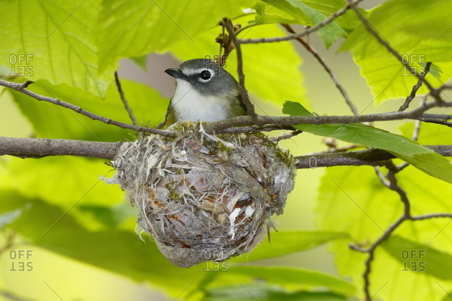 A Male solitary vireo, Vireo solitarius, resting in its nest