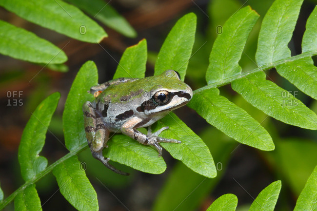 An Ornate chorus frog, Pseudachris ornata, perched on vegetation waiting for prey